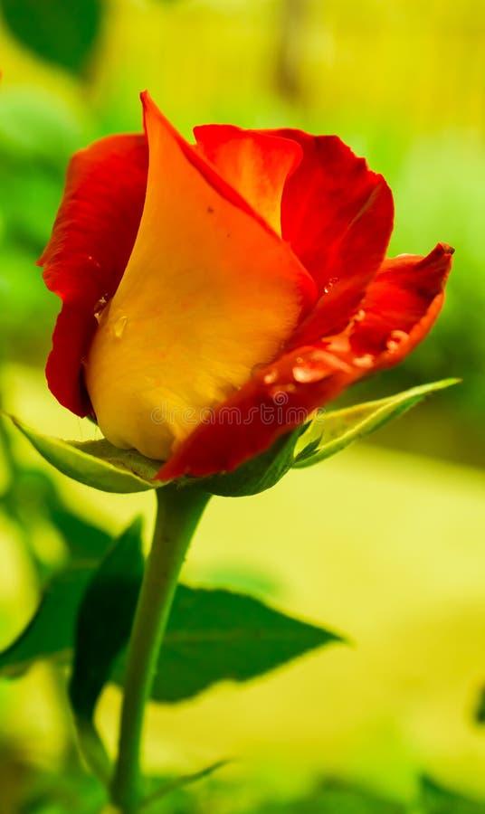 Роза красного цвета и желтого цвета стоковое фото