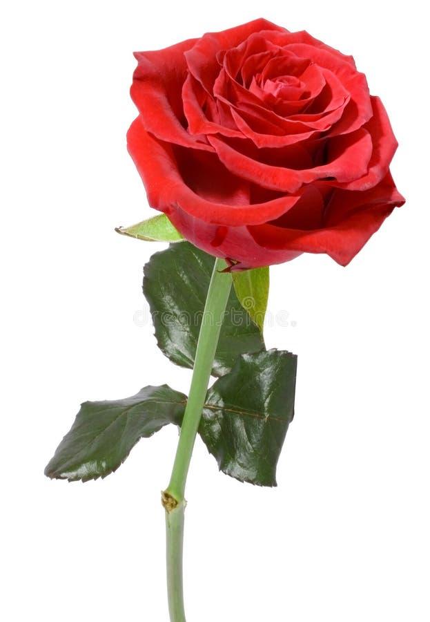 роза красного цвета одиночная стоковые фотографии rf