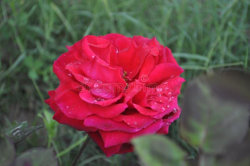 Роза красного цвета с падениями дождя стоковое фото