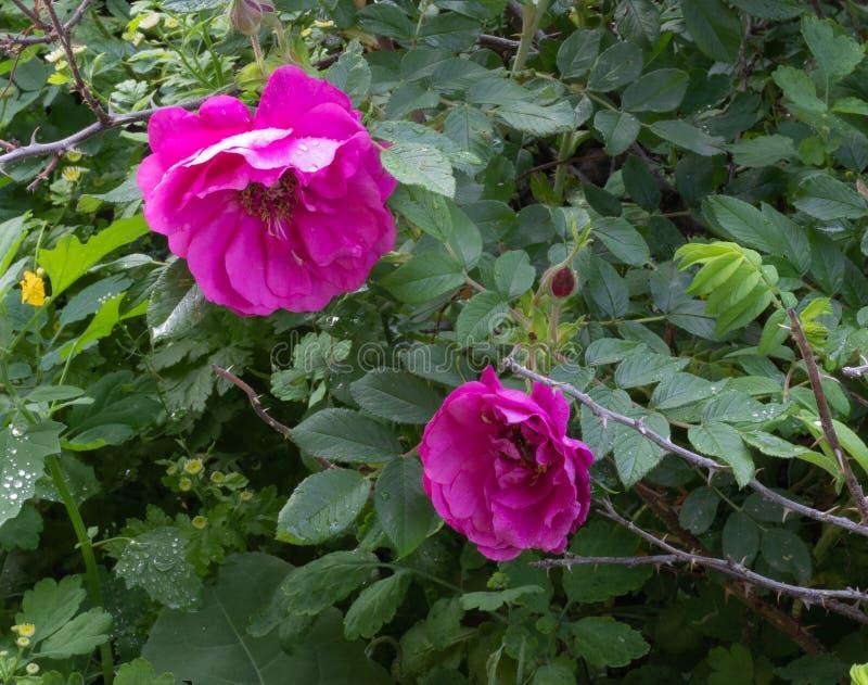 Роза на кусте стоковая фотография rf