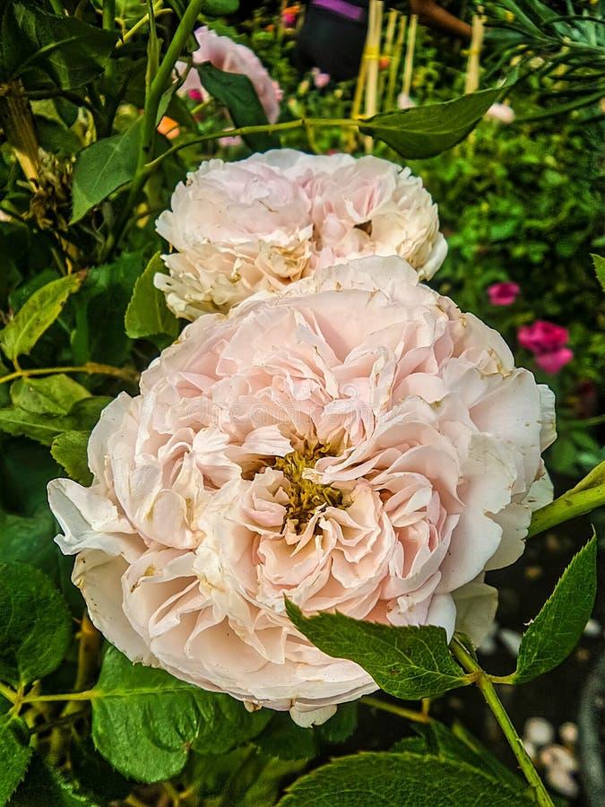 Роза пинка в цветочном саде стоковые фотографии rf