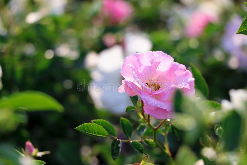 Роза пинка - Индия стоковая фотография