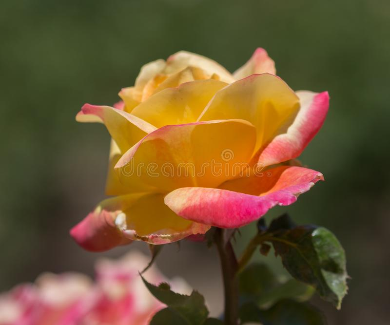 Роза пинка и желтого цвета стоковые изображения