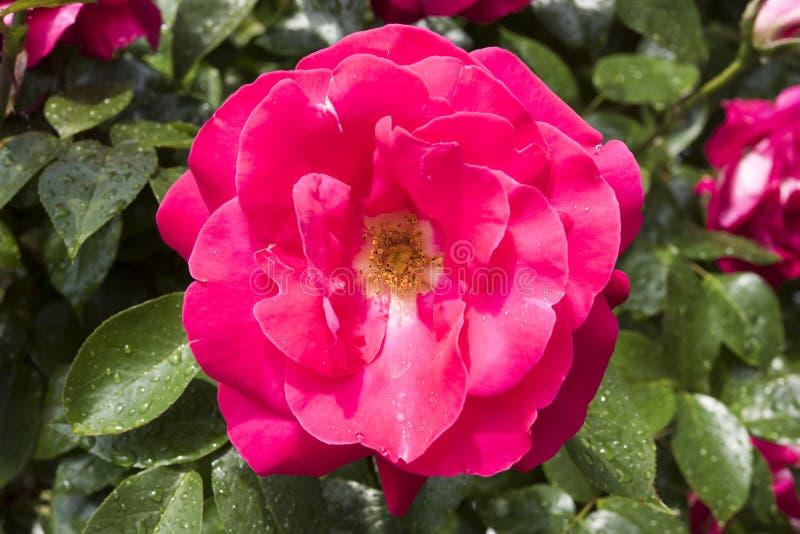 Роза пинка после дождя в саде стоковое фото