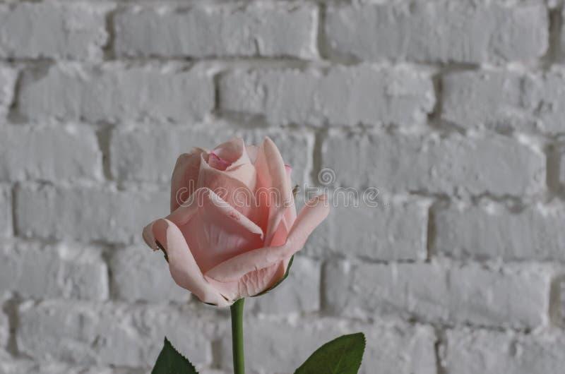 Роза пинка против белой кирпичной стены, подарка на день ` s валентинки St стоковое изображение rf