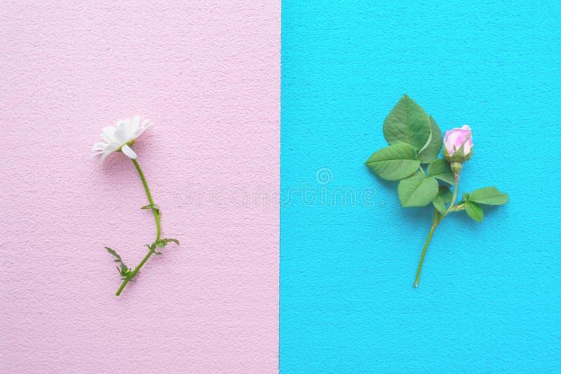 Роза пинка с зеленым цветом выходит на голубую предпосылку и белую маргаритку стоковые изображения