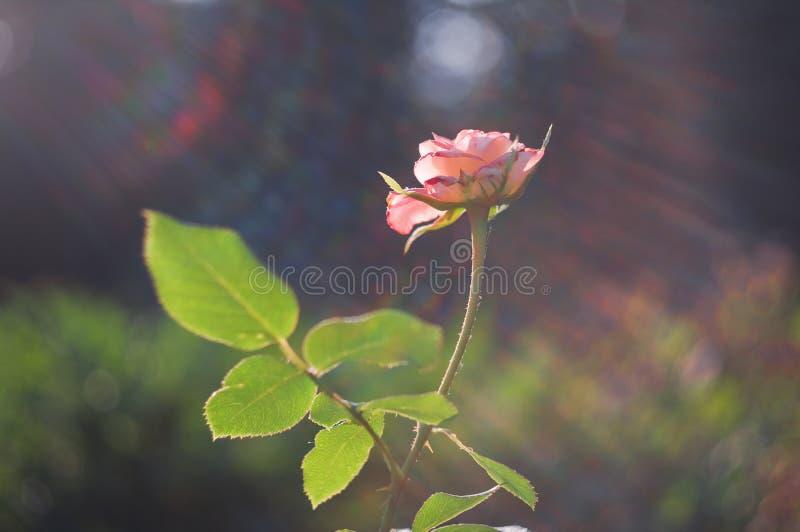Роза пинка с лучами света стоковая фотография rf