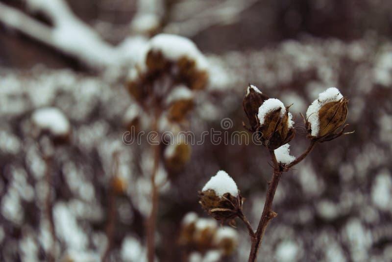 Роза-просвирник болота стоковое фото