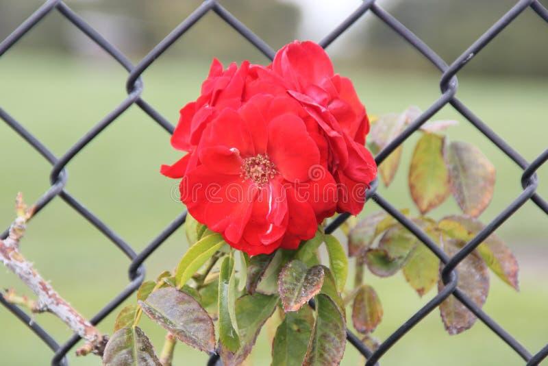 Роза Роза & x27; Meizenomi& x27; Оранжевая толкотня стоковые изображения rf
