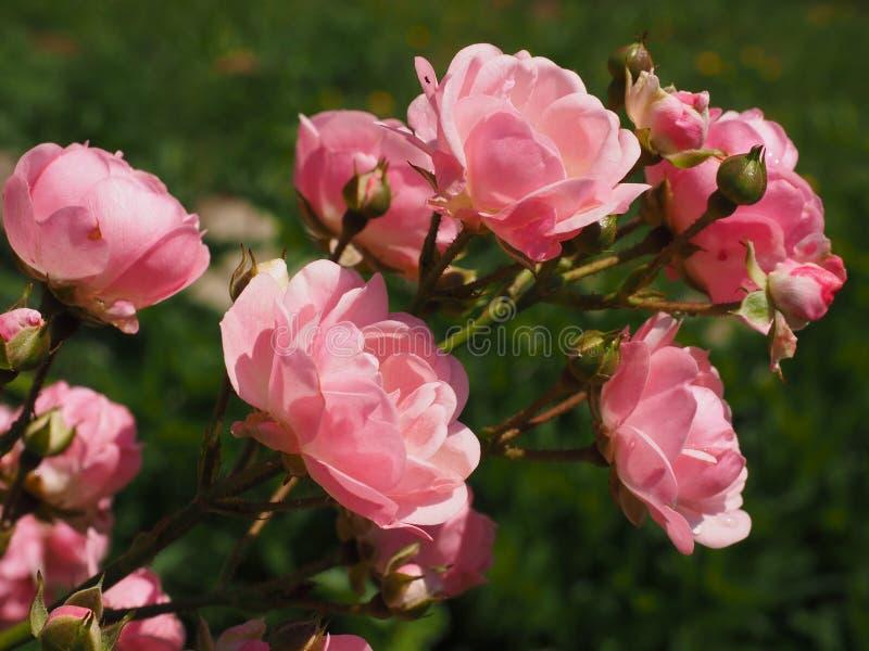 Роза, розовая семья, цветок, завод