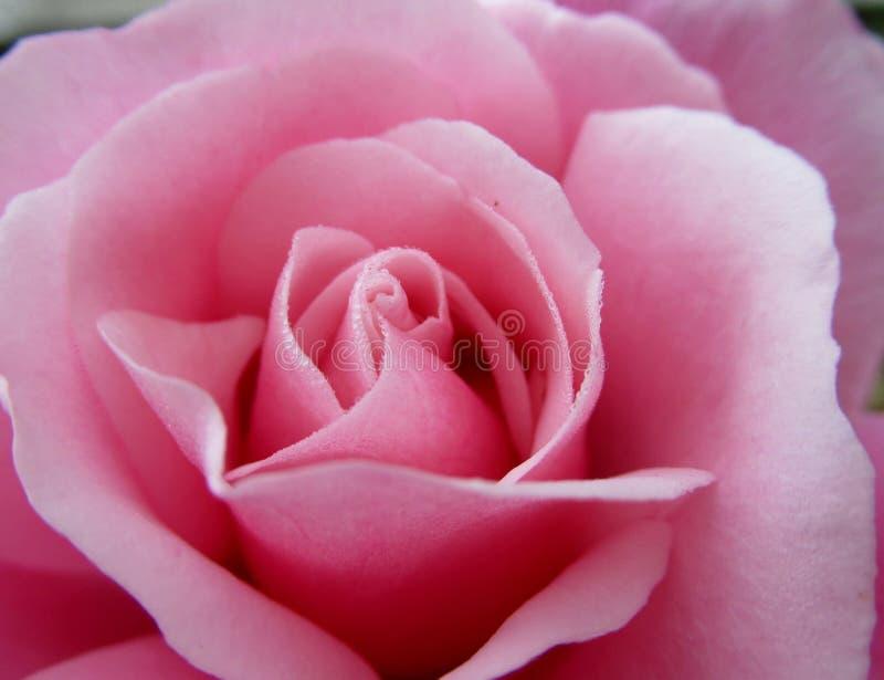 Роза, цветок, розовая семья, розы сада