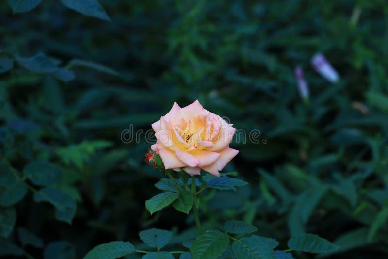 Роза chinensis Jacq стоковые изображения
