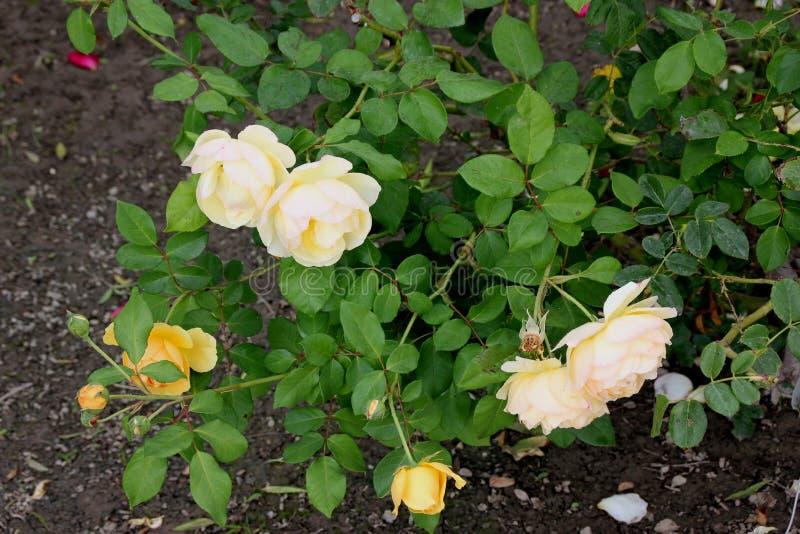 Роза & x27; Graham Thomas& x27; стоковое изображение