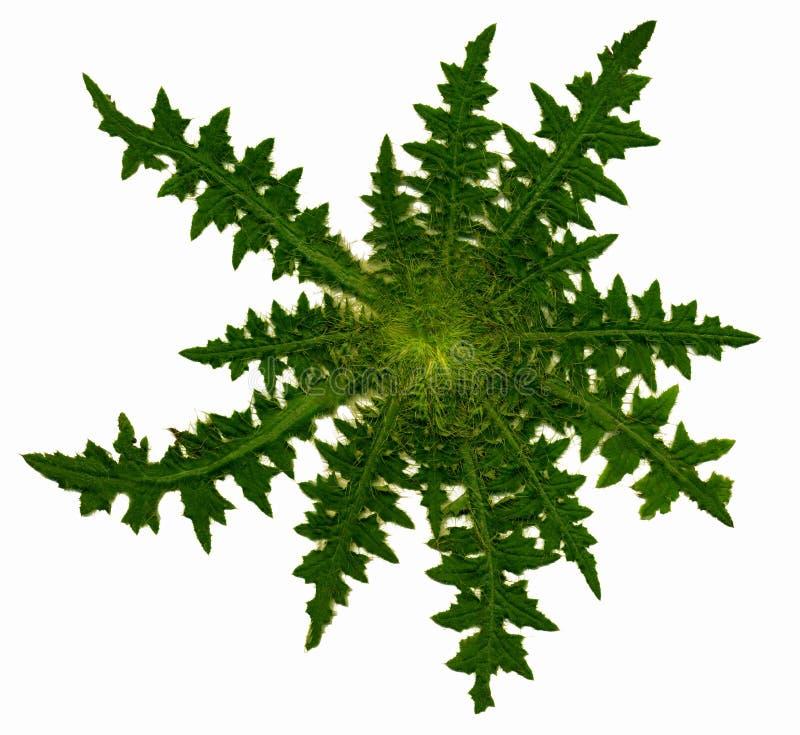 Розетка Thistle стоковое изображение