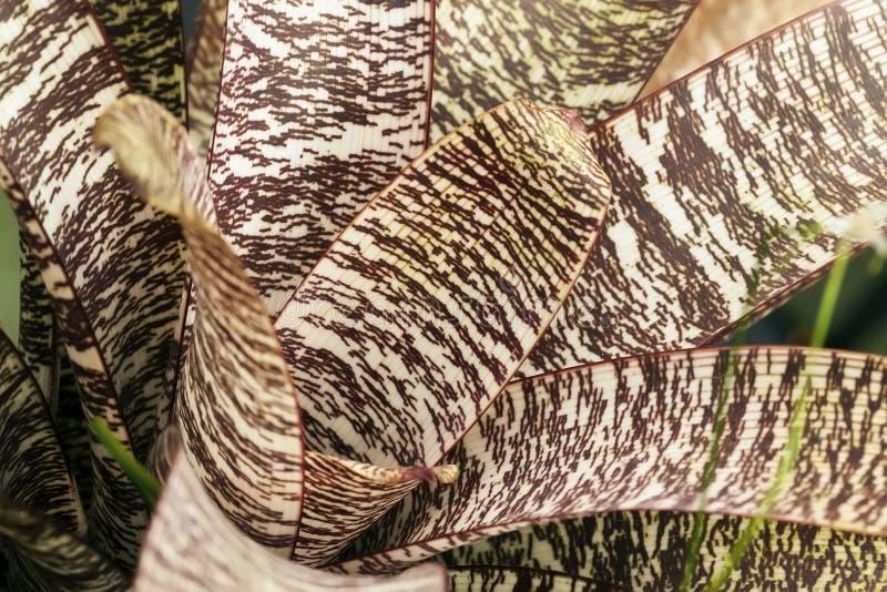 Розетка variegated юкки Тропическая листва завода decorativ, фото макроса лист, естественной картины, экзотическое ботанического стоковое изображение rf