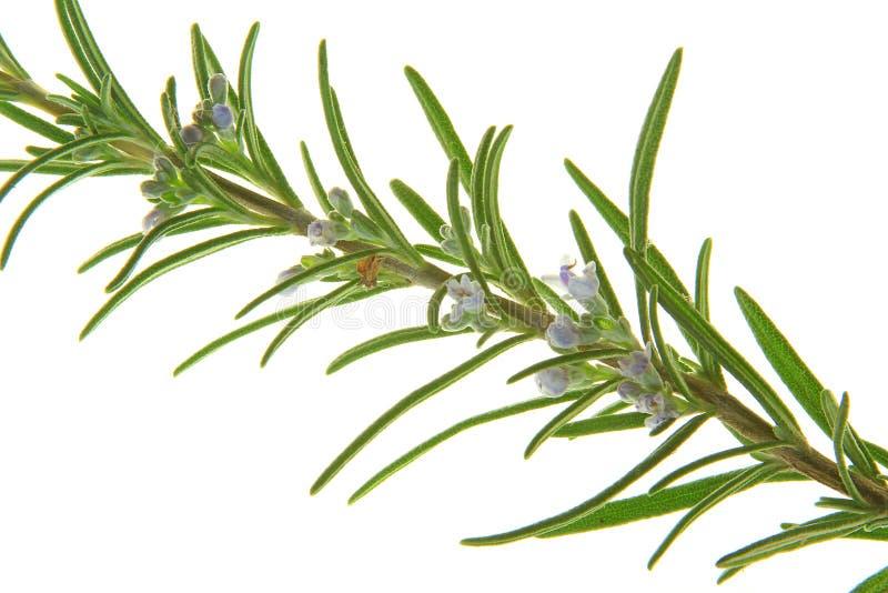 Розмари (officinalis Rosmarinus) стоковое изображение