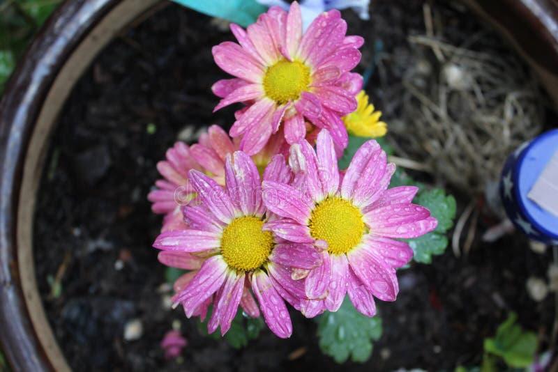 Розоватый желтый цветок стоковые изображения rf