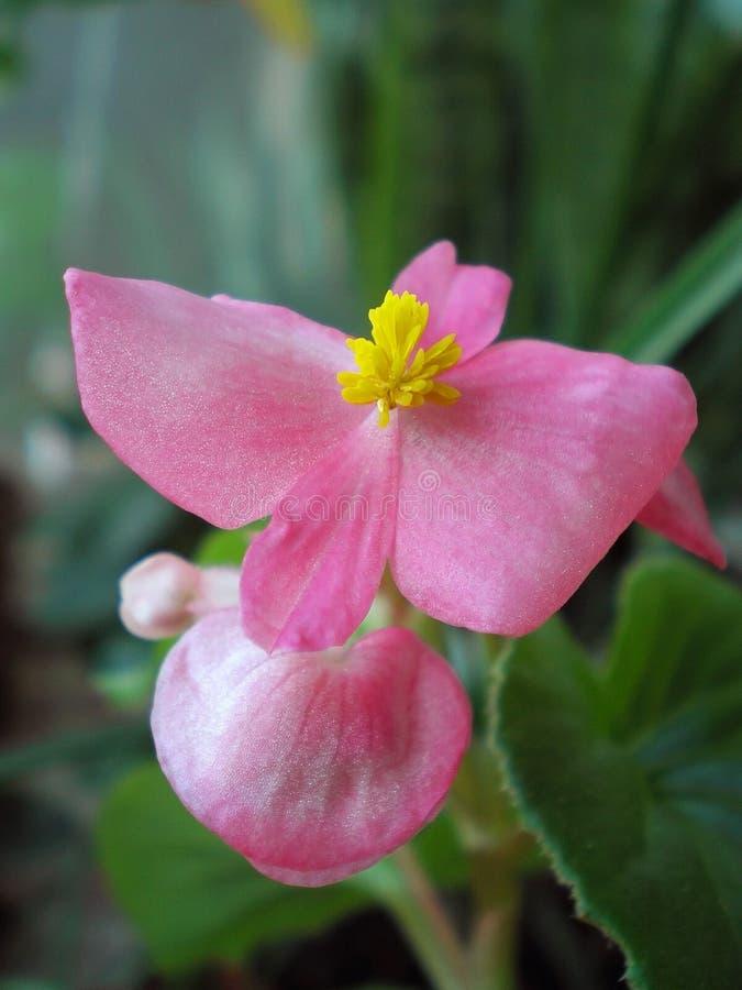 Розовая бегония Цвет рассвета утра стоковое изображение rf