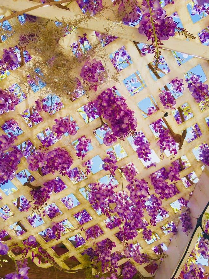 розовая белизна стоковая фотография rf