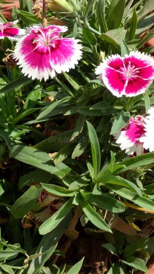 розовая белизна стоковое изображение rf