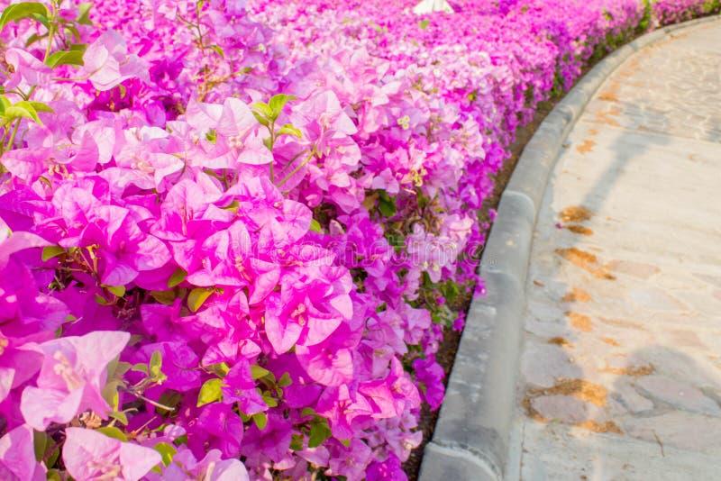 Розовая бугинвилия, бумажный цветок стоковые фото
