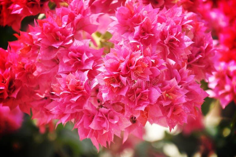 Розовая бугинвилия или бумажный цветок стоковое изображение rf