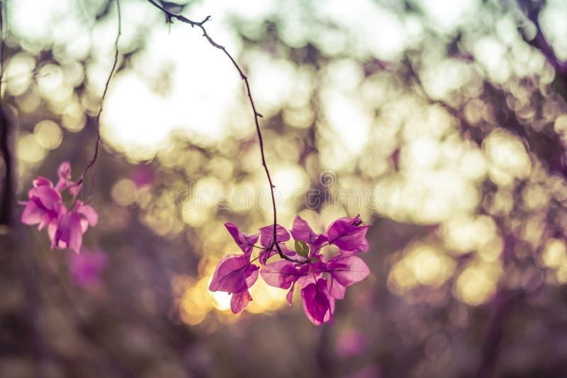 Розовая бугинвилия стоковые фото