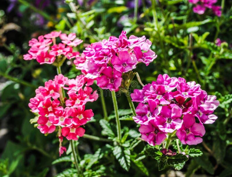 Розовая вербена в саде стоковое изображение rf