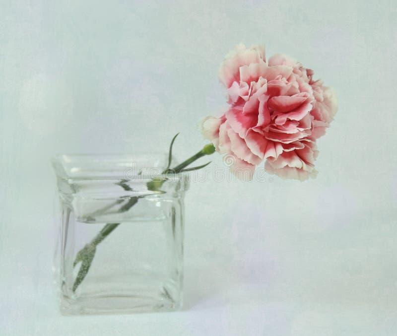 Розовая гвоздика. стоковые фото