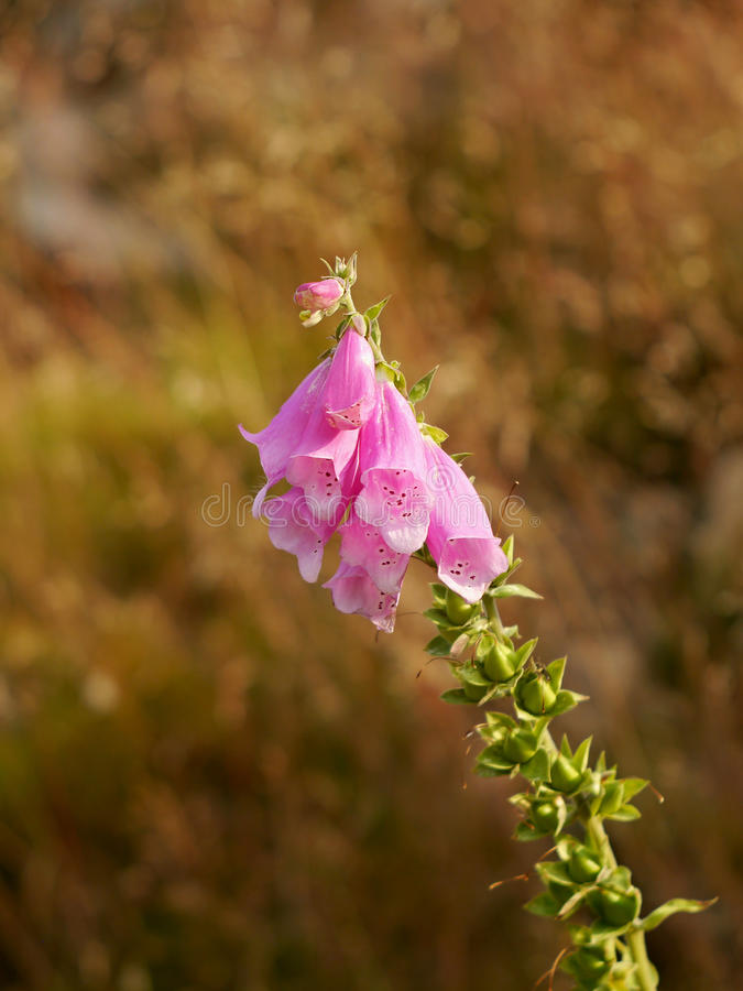 Розовая гора цветет колоколы стоковая фотография