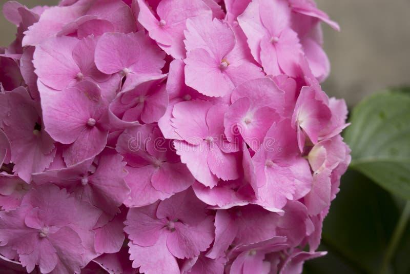 Розовая гортензия с лист стоковое изображение