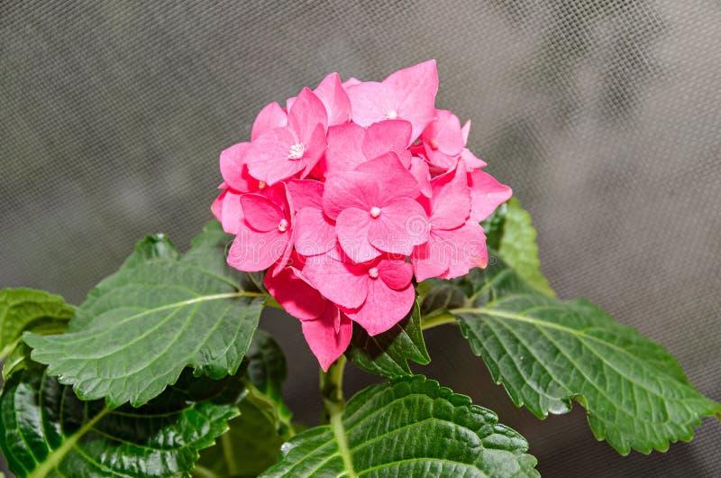 Розовая гортензия цветет, конец завода куста hortensia вверх стоковая фотография