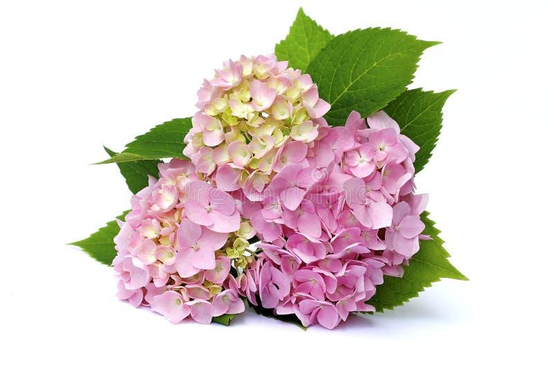 Розовая гортензия стоковая фотография