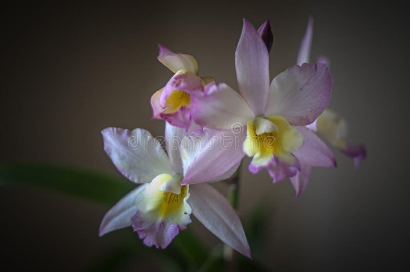 Розовая зацветая орхидея стоковые изображения