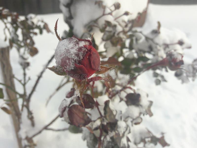 розовая зима стоковые изображения