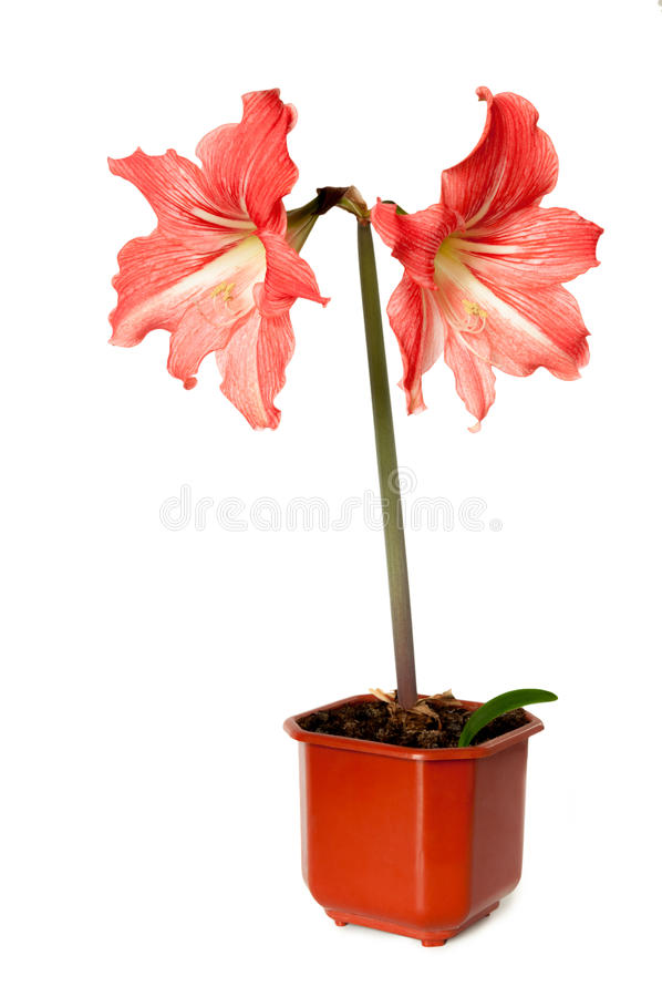 Розовая лилия в цветочном горшке изолированном на белой предпосылке стоковые фотографии rf