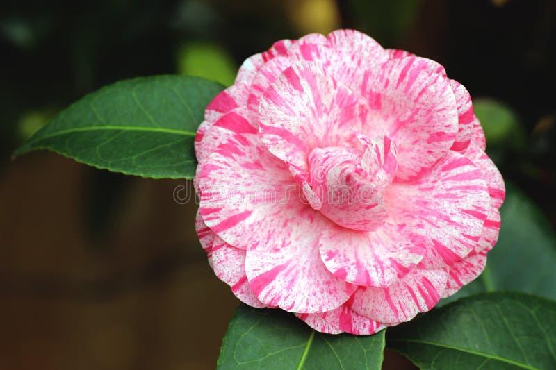 Розовая камелия стоковое фото rf