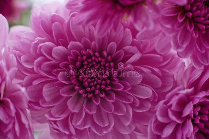 Розовая красивая гония стоковое изображение