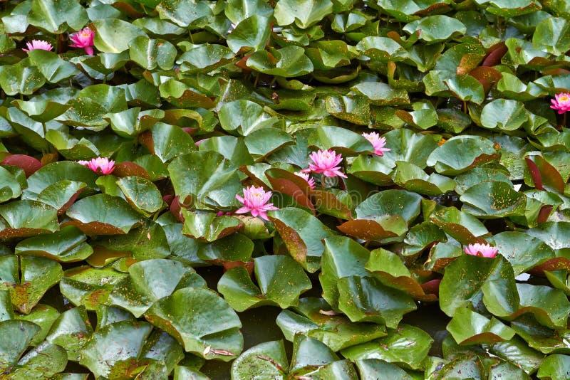 Розовая лилия воды лотоса цветков с листьями плавая на воду Нидерланд июль стоковое изображение rf