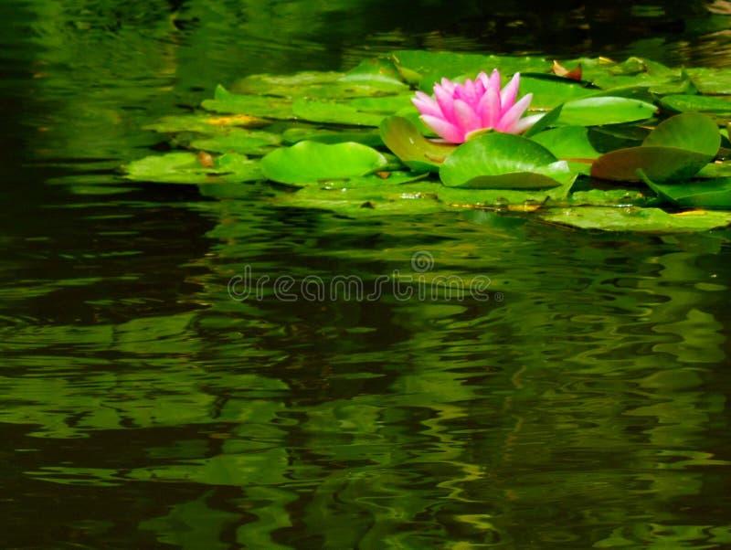 Розовая лилия воды на пруде стоковое изображение rf