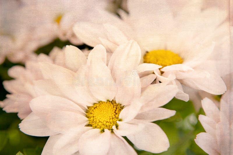Розовая маргаритка цветет белые желтые маргаритки стоковые изображения rf