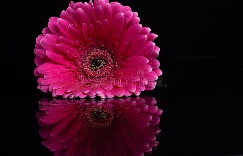 Розовая маргаритка Gerbera стоковое изображение