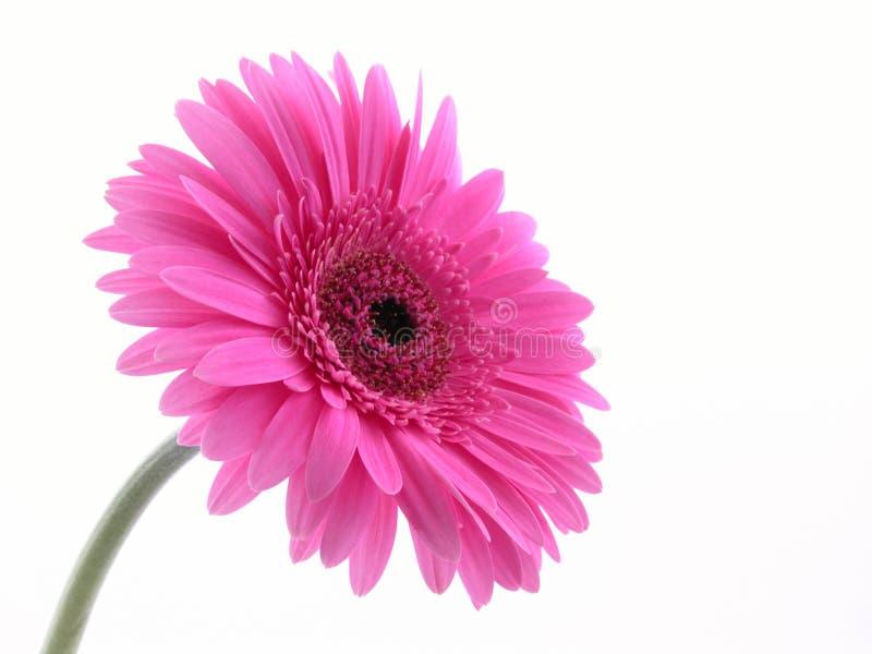 розовая милая стоковые фото