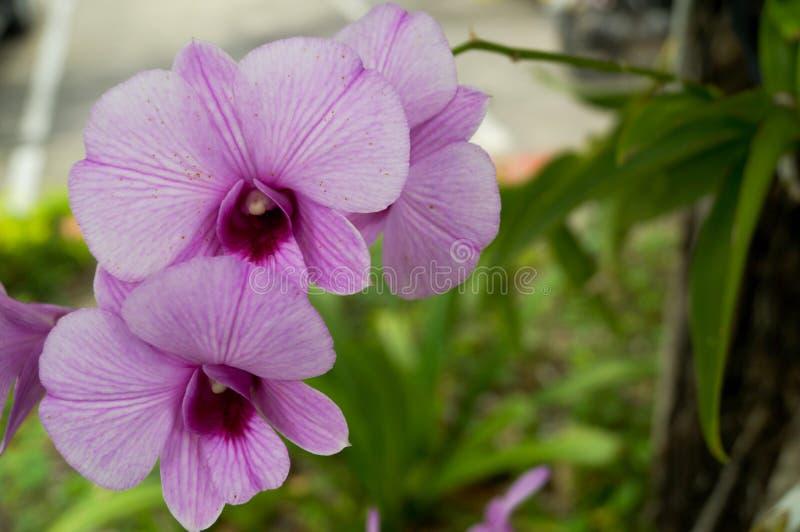 Розовая орхидея в саде стоковая фотография