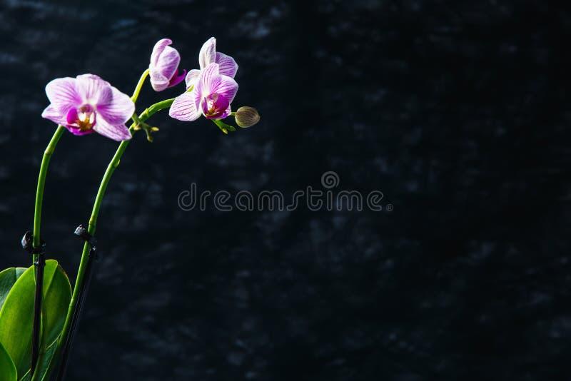Розовая орхидея на темной предпосылке, с открытым космосом стоковые изображения rf