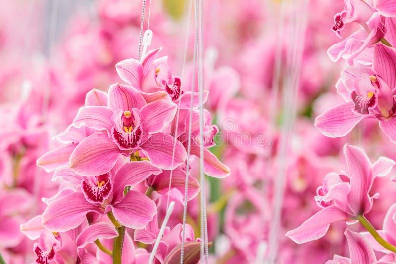 Розовая орхидея в голландском парнике стоковое изображение rf