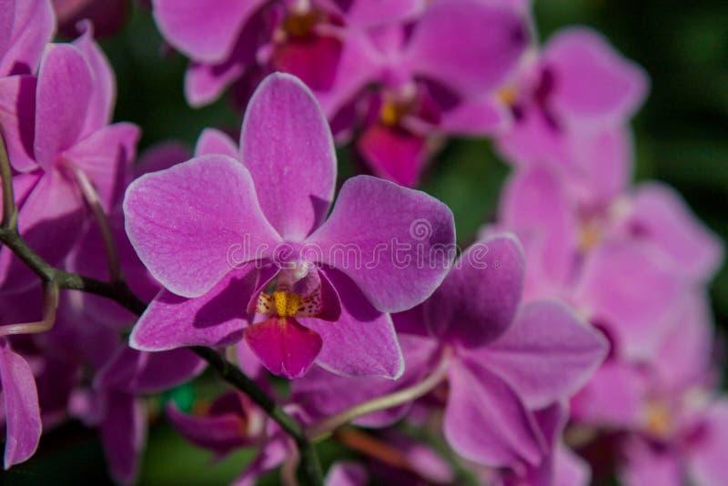 Розовая орхидея красивейший цветок тропический стоковые изображения