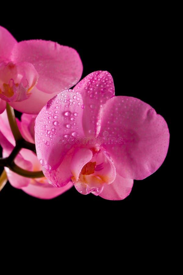 Розовая орхидея стоковые изображения rf