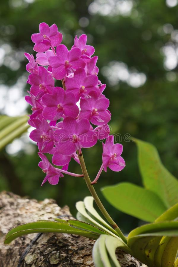 Розовая орхидея стоковые изображения
