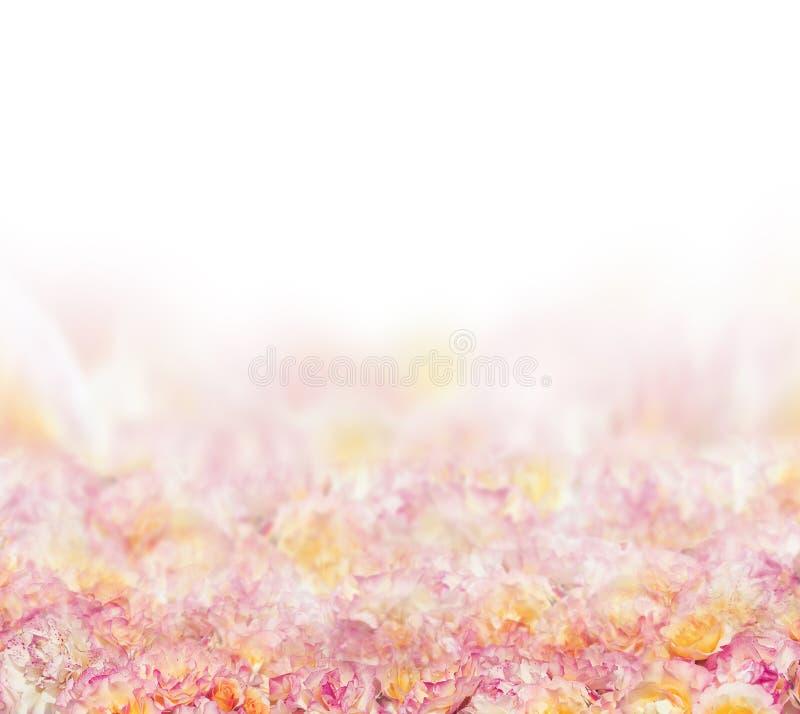 Розовая предпосылка лепестка роз на белизне стоковые изображения